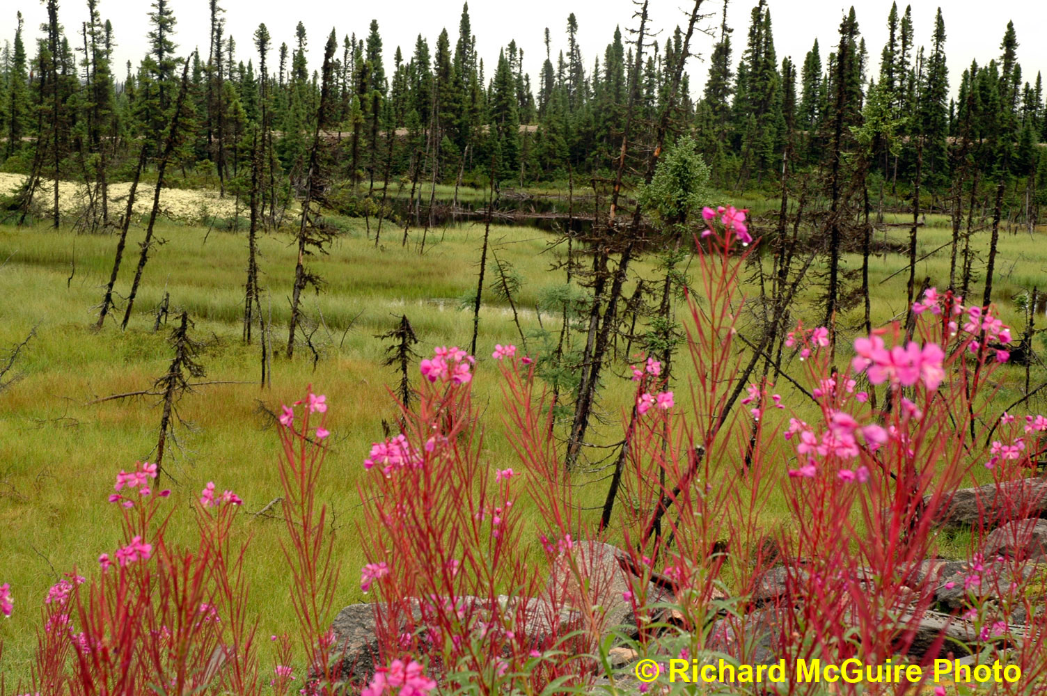 Wildflowers, Trans-Labrador Highway