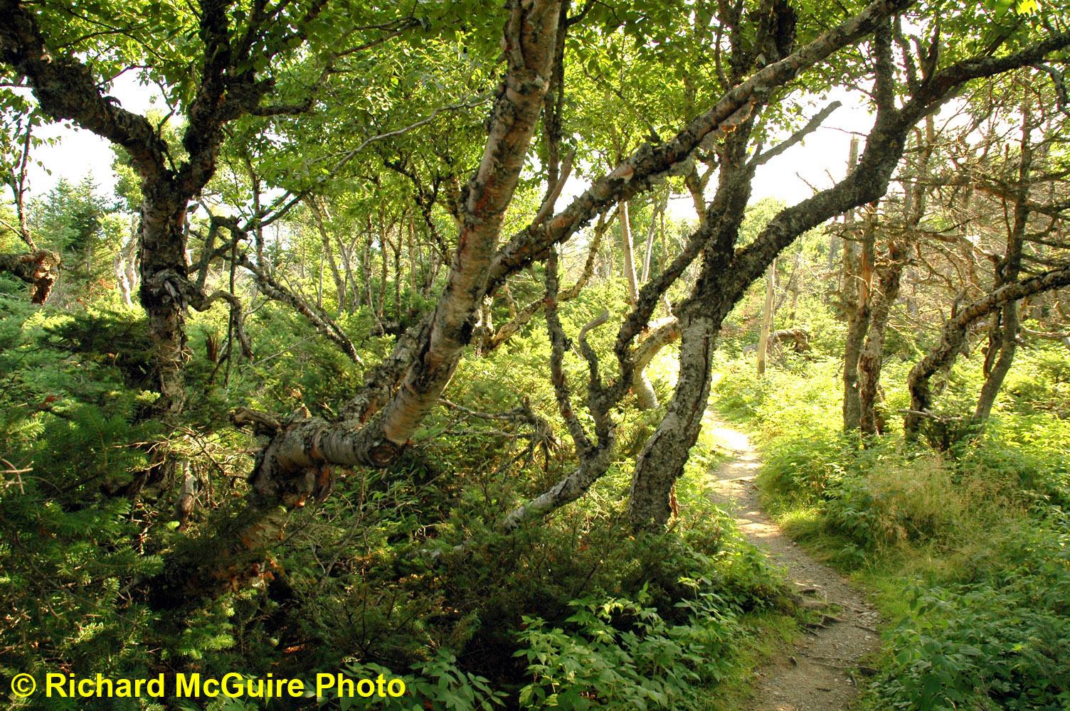 Trees, near Western Brook Pond, Gros Morne National Park, Newfoundland and Labrador, Canada