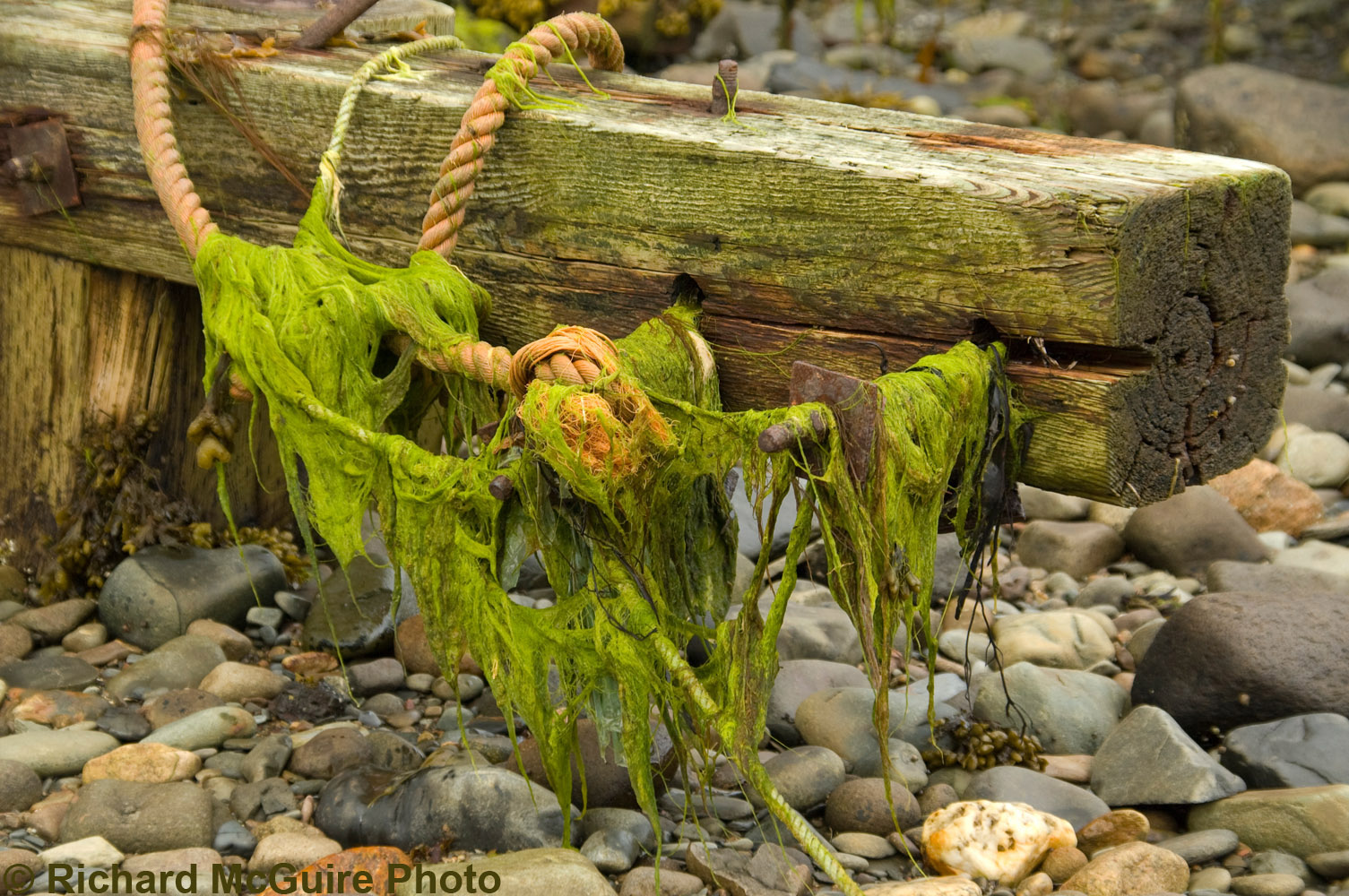 Seaweed and wire cable, Meteghan harbour, Nova Scotia