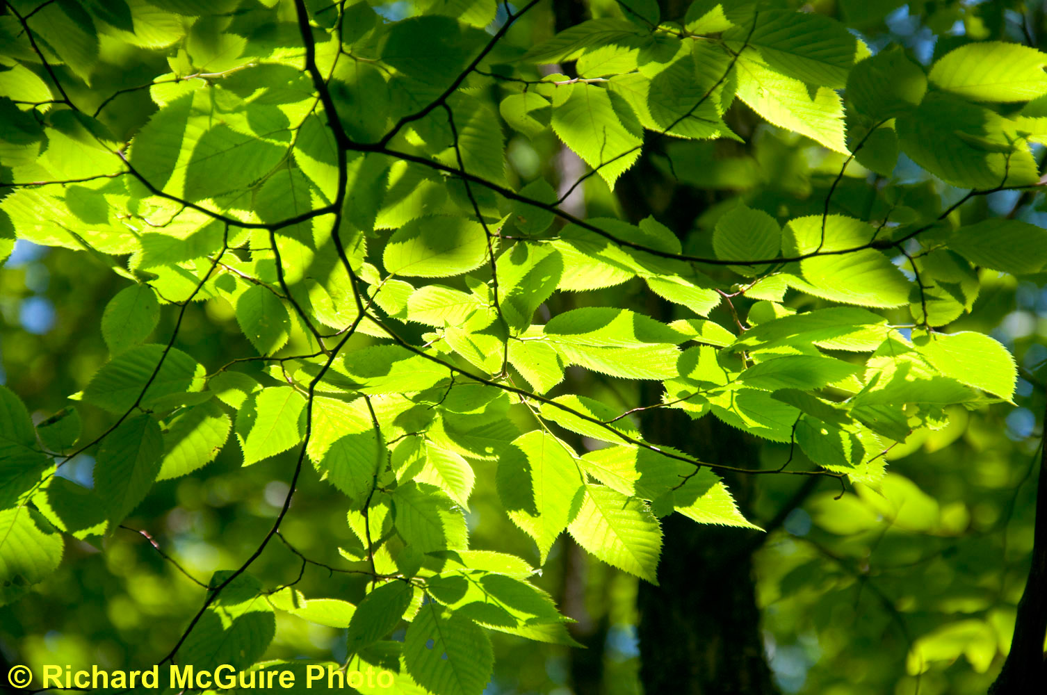 Backlit leaves, Frontenac Provincial Park, near Kingston, Ontario