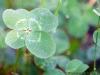 Four-leafed clover, Frontenac Provincial Park