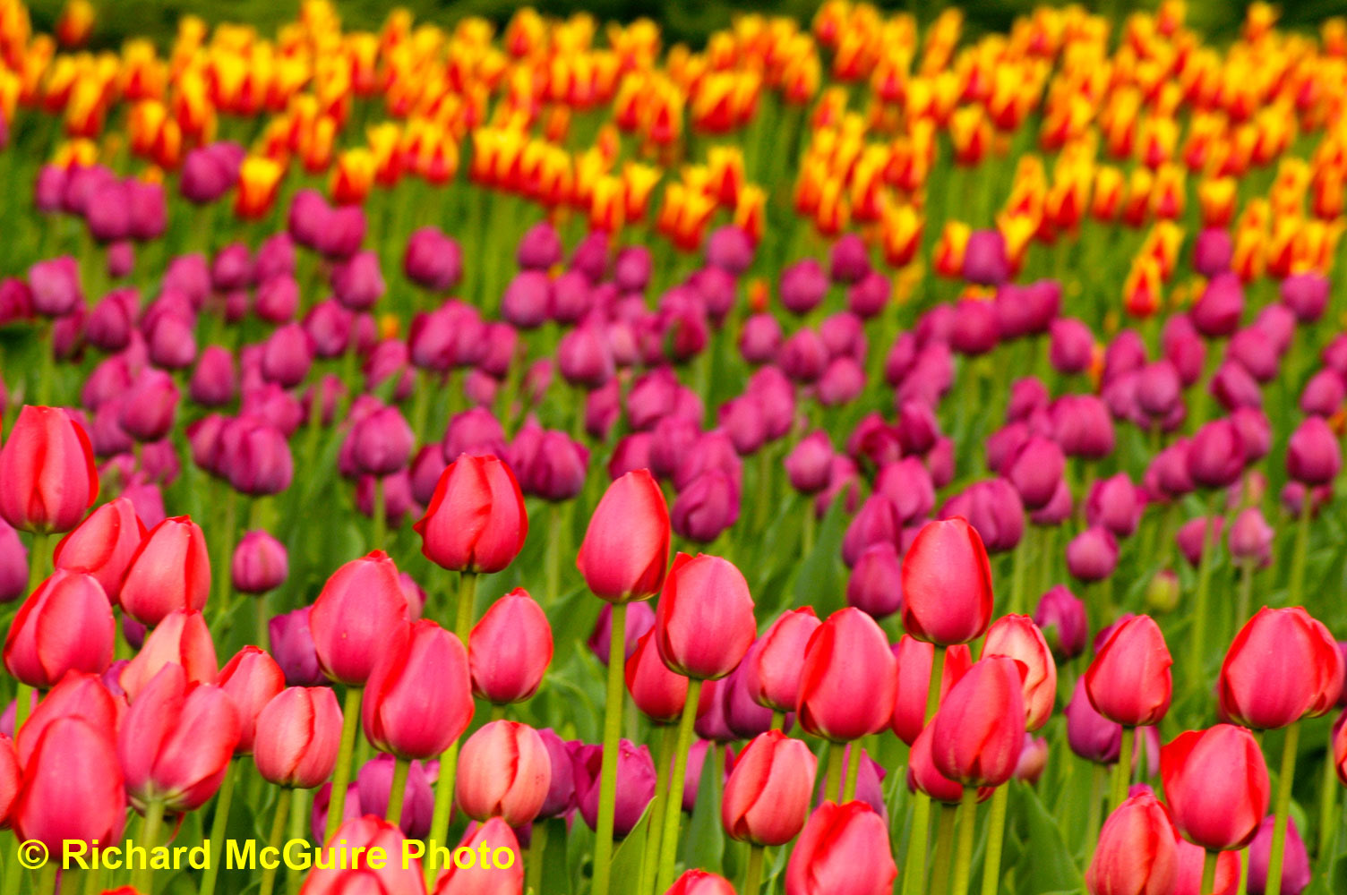 Tulips of all colours