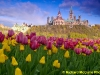 Parliament buildings through the tulips