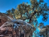 Gnarly trees, rocks and icicles, Chiricahua National Monument, Arizona