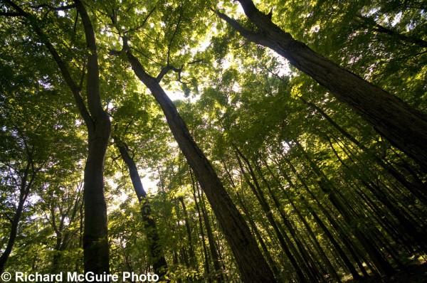 Carolinian forest, near Port Rowan, Ontario