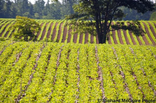 Crop rows, Delhi, Ontario